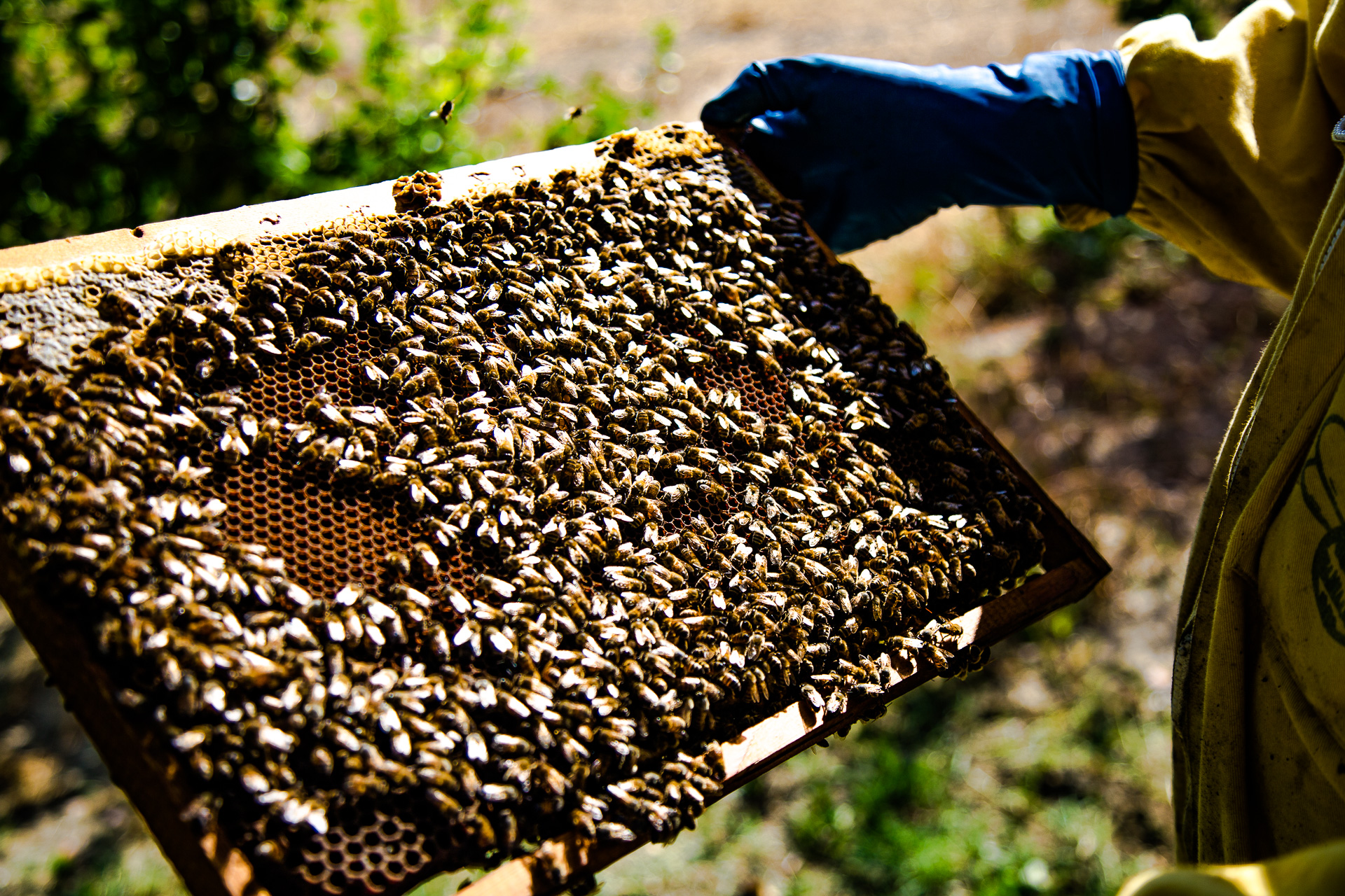 Le api di Apicoltura Martelli